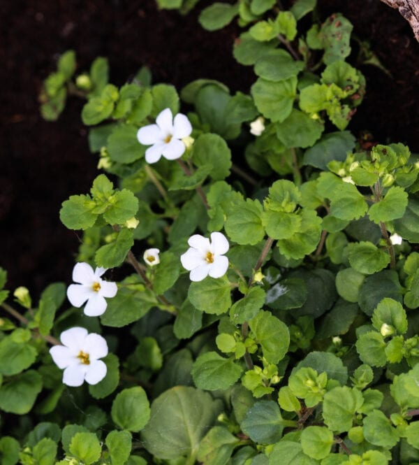 bacopa monnieiri benefits